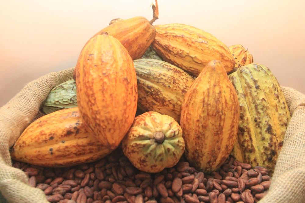 production cacao adamaoua